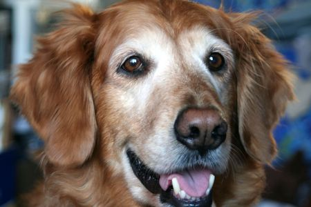 Closeup portrait of Golden Retriever with ears propped to listen. Imagens