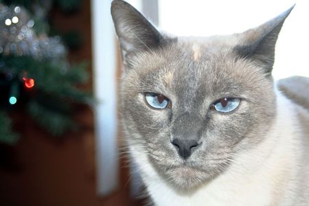 incensed: Portrait of angry looking Siamese cat. Stock Photo