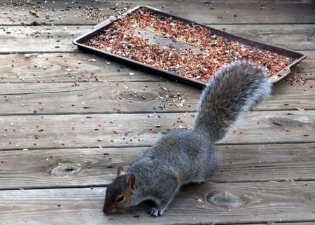 devour: Squirrel eating birdseed on an outside deck.