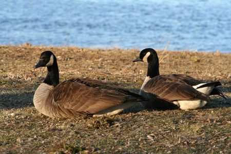 sitting on the ground: Canadian geese on the bank of the Delaware River in New Jersey.