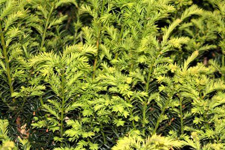 Evergreen New Growth Reklamní fotografie