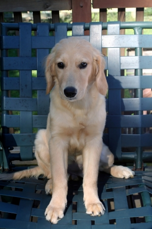 likable: Young Golden Sitting On Chair Outdoors