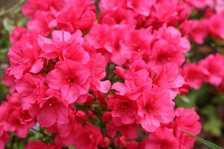 azaleas: Azalea Fuchsia Pink Closeup