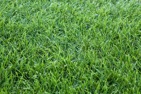 sod: green grass background, closeup photo of grassy cover