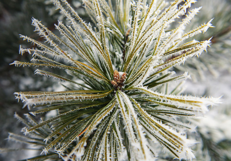 branches of fir tree strewn lightly with snow in January