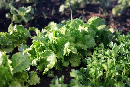 Green salad grows on farmer grounds