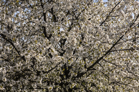 White florets of cherry during the spring time Stockfoto