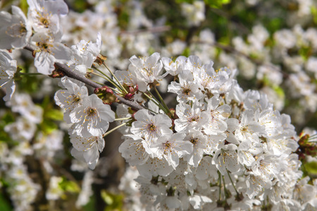 White florets of cherry during the spring period Stockfoto