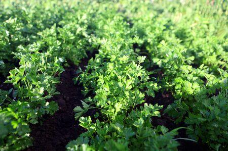 green parsley on field, agriculture 版權商用圖片