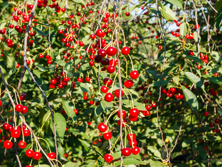 Many ripe red cherries on a green tree. Bunches of cherries on dangling branches. Blue sky in the background. Clear summer day. Stock Photo