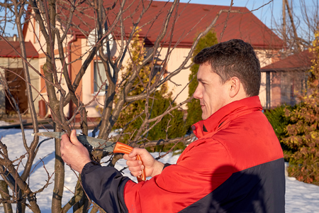 Middle aged man with saw in hand pruning tree branches