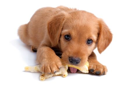 Russian spaniel puppy gnaws chicken feet toy isolated on white background 版權商用圖片