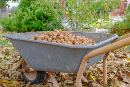 Full wheelbarrow of walnuts in autumn garden. Harvest nuts.