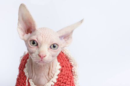 bald Sphynx cat portrait. Shorthair kitten two months old on white background. Closeup view, copy space Stock fotó