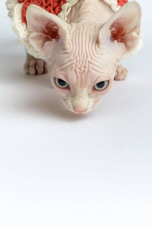 bald Sphynx cat portrait. Shorthair kitten two months old on white background. vertical orientation, copy space Stock fotó