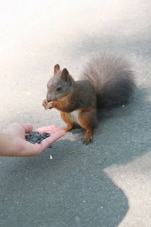 Human hand is feeding a red squirrel with sunflower seeds. Closeup view Stock fotó