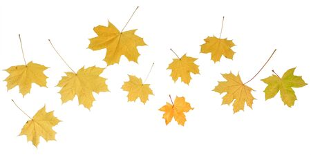 Collection of yellow maple leaves isolated on white background Stock fotó