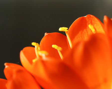 desktop wallpaper: The kaffir lily is very special taken for the people who apply to desktop wallpaper of laptop or mobile phone. Stock Photo