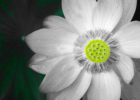 elegance:  Lotus always looks quietly elegance.