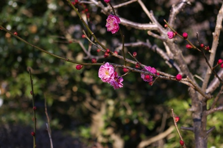 ume: Flowr of Ume, Japanese aprico or Prunus mume