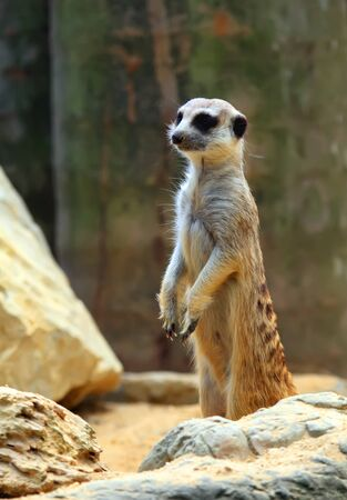 attentiveness: Mongoose  Suricata suricatta  Stock Photo