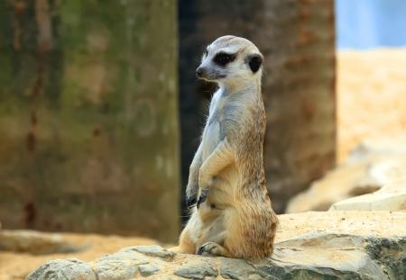 attentiveness: Suricata suricatta