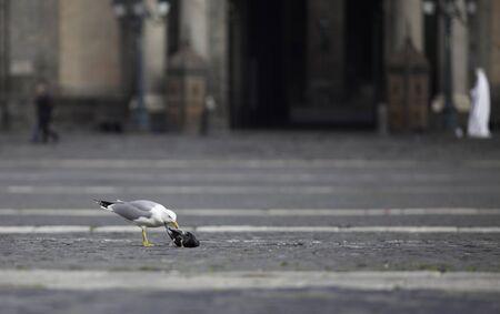attacking: Seagull attacking small bird
