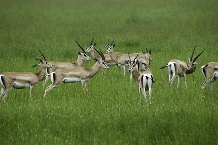 Gazzelles, Serengeti park, Tanzania, Africa Stock Photo