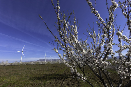 windmills with almons trees, Spain photo
