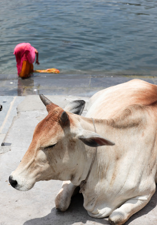 rajasthan: Holy cow on the Ganges, Rajasthan, India