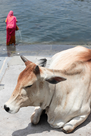 india cow: Holy cow on the Ganges, Rajasthan, India