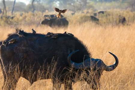 the game reserve: Buffalo and cleaning bird, game reserve,Botswana