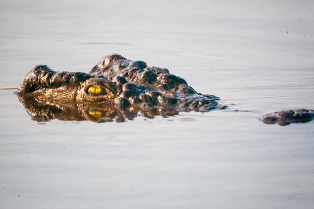 botswana: Crocodile in water, Botswana, Africa Stock Photo