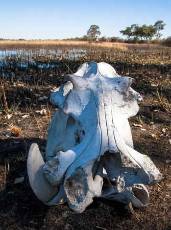the game reserve: Elephant skeleton in bush, game reserve Botswana, Africa