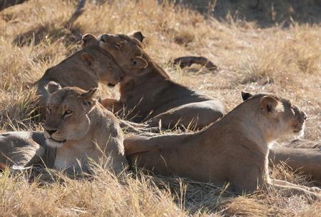 chobe national park: Lions lining in the bush ,Chobe National park, Botswana Stock Photo