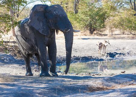 chobe national park: Elephant drinking, Chobe National park, Botswana