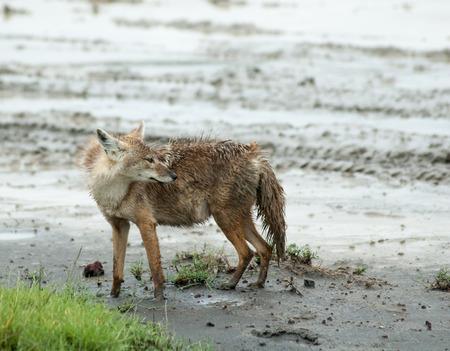 monogamous: Jackal in the Ngorongoro park reserve, Tanzania Stock Photo