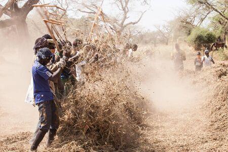 cuntry: Peanut pickers in cuntry, Seine de Saloium, Senegal, November 2012