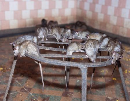 rata: templo de la rata, Karni Mata templo, Deshnoke, India