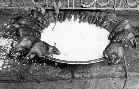 bikaner: rat temple, Karni mata temple, Deshnoke, India