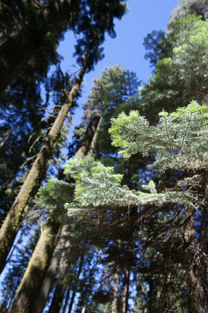 sequoia national park: Some trees in Sequoia National Park, California