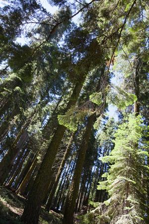 sequoia: Some trees in Sequoia National Park, California