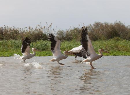 Pelicans, Djoudi national park,Senegal
