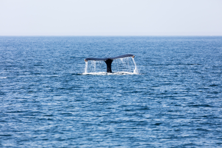 baleen whale: Whale in Provincetown, Cape Cod, Massachussetts, United States Stock Photo