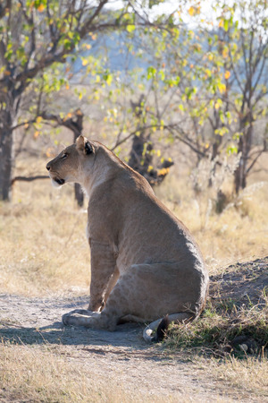 the game reserve: Lioness, Chobe National game reserve, Botswana