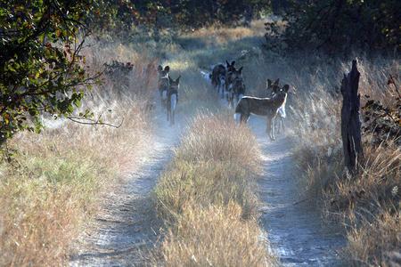 botswana: Group of Lycaons, game reserve, Botswana