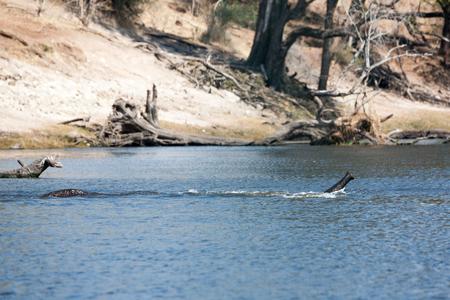 botswana: elephant wading a river in Botswana