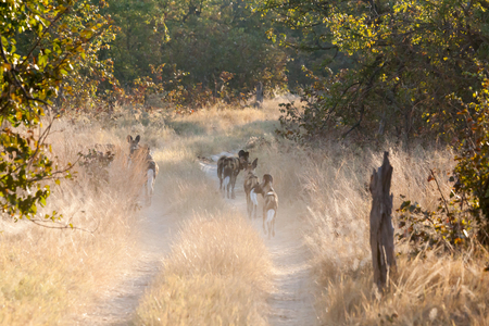 the game reserve: Group of Lycaons, game reserve, Botswana