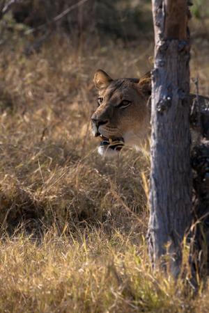 lioness: Lioness, Chobe national park reserve, Botswana