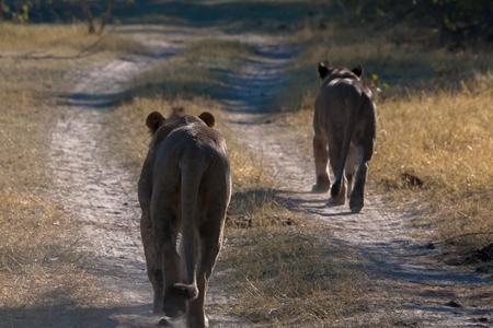 chobe national park: Lioness, Chobe national park reserve, Botswana